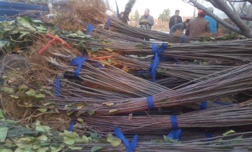 海棠绿化施工中的苗木栽培管理