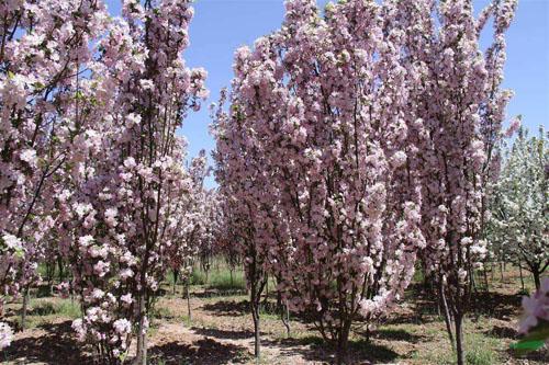 海棠花圃中苗木花卉的栽培