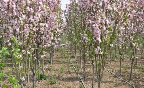 海棠树木生长发育与环境