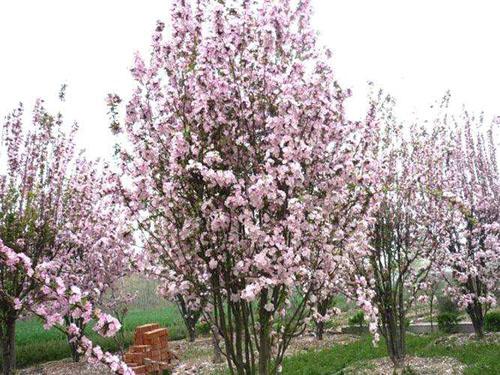 海棠采集健壮生冬芽饱满的枝条
