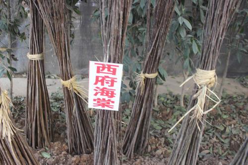 海棠栽时要求根系舒展