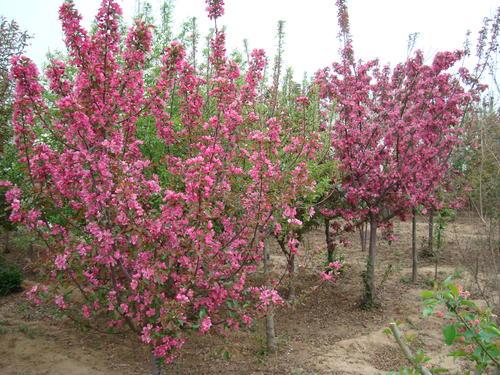 海棠播种繁殖的实生苗在株高